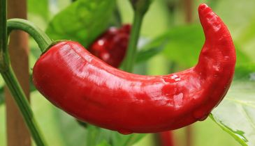 When should I pick chillies?